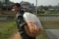 Nguyen Cong Thanh transports the carp from the pond to his home.