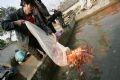 家庭用の池に鯉を放す