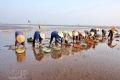 Trước kia, bãi biển Tiền Hải chỉ để không, trong vòng 5 năm trở lại đây, bờ biển đã trở thành những cánh đồng nuôi ngao mang lại những vụ mùa bội thu.