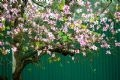 Hanoi in the Season of Bauhinia Flowers