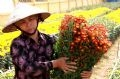 Villagers from Me Linh (Phuc Yen) harvest flowers for Tet.