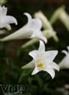 Và khi bừng nở hoa sẽ mang một màu trắng tinh khôi.