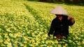 Un paysan sur le champ des fleurs des chrysanthèmes des jardins. (Photo: Tât Son)