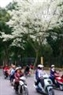 Hanoi is overwhelming with white Sua flowers.