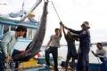 Bốc dỡ cá ngừ đại dương từ một chiếc tàu đánh bắt xa bờ của Khánh Hoà vừa cập cảng cá Hòn Rớ.