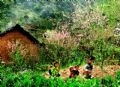 Printemps dans un village des H'mông.