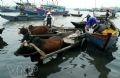 Một chuyến ra khơi, mỗi chiếc thuyền thường thu hoạch được từ 3 – 4 tấn cá. Ngư dân phải dùng thuyền nhỏ để làm khâu chung chuyển cá từ thuyền lớn vào bờ. Sau đó, cá từ những thuyền nhỏ lại được chuyển lên chợ bằng xe bò.