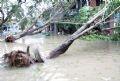 Cơn bão số 9 đã gây thiệt hại nặng về người và tài sản của nhà nước và nhân dân tỉnh Quảng Ngãi. Phần lớn các tuyến đường giao thông liên huyện, liên xã bị sạt lở, cây cối ngã đổ gây ách tắc giao thông. Trong ảnh: Cây đổ tại đường Phan Đình Phùng-TP Quảng Ngãi.