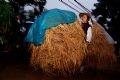 家畜の餌やきのこの栽培の肥料とされる1束11,000ドンの麦藁
