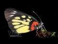 Papillon Delias pasithoe.