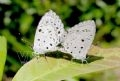 Papillon Acytopis puspa.