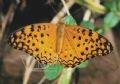 Papillon Platanta phalanta.
