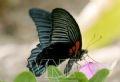 Papillon Papikio memnon.