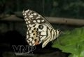 Papilio demolens 碟。