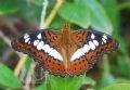 Papillon Moduza procris.