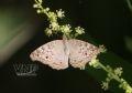 Papillon Junonia Atlites.