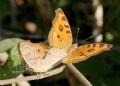 Papillon Junonia almana.