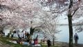 Attractive cherry blossoms in Washington DC