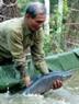 Ông Trần Huy Thoả, người có thâm niên 15 năm nấu cá kho cho biết: Muốn nồi cá kho ngon phải chọn loại cá nặng trên 3kg.