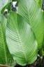 Lá dong Tràng Cát tròn và to hơn lá dong rừng. Khi gói bánh trưng lá rất dẻo và dai, cho màu xanh tự nhiên.