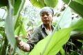 Hiện nay ở Tràng Cát có 145 hộ với hơn 2000 người trồng lá dong trên diện tích khoảng 100 mẫu.