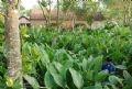 Khi cây lá dong mang lại giá trị kinh tế cao thì toàn bộ vườn nhà của người Tràng Cát đều dành để trồng lá dong.