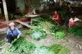 Sân nhà thành kho chứa lá. Lá dong Tràng Cát có thể bán quanh năm và mang đến cuộc sống no ấm.