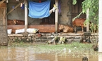 Người dân huyện Lệ Thuỷ phải chuyển gia súc lên hiên nhà để tránh nước lũ. (Hồ Cầu - TTXVN)