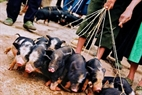 Đàn lợn con được buộc dây dắt ra chợ bán.