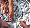 Mùa này cá trích tươi được bán với giá khoảng 10 nghìn đồng/kg.