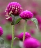 Sắc tím mộng mơ và quyến rũ của một cành hoa bách nhật.