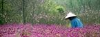 Đằng sau vẻ đẹp của vườn hoa là nỗi lo của người Nhật Tân khi những cành đào bắt đầu nở sớm.