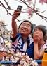 日本から運ばれた桜を観賞している若者たち