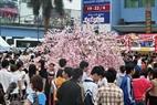多くの人々の関心をもたらした桜