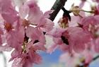 日本からの桜の美