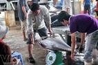 Trung bình mỗi con cá ngừ đại dương nặng khoảng 30 đến 40 kg.