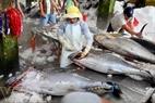 Phần lớn cá được sơ chế ngay tại các kho ở cảng.