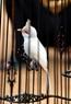 Một trong số gần 10 chú chim chào mào bạch tạng quý hiếm của Việt Nam.