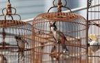 Cuộc đọ sức quyết liệt giữa một đôi chim chào mào trong phần thi tiếng hót.