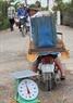 Từ xã Tân Xuân, cá tra nuôi ở vùng nhiễm mặn được chuyển đi khắp nơi.