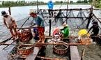Đến kỳ thu hoạch, ao nuôi được quây lại bằng lưới rồi gom lại một góc để tiện cho việc thu hoạch cá tra.