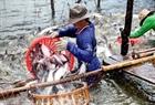 Cá tra đem lại hiệu quả kinh tế cao khi áp dụng mô hình nuôi trồng thủy sản trên vùng nước nhiễm mặn ở tỉnh Bến Tre.