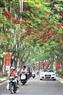 Hoa Phượng có mặt tại nhiều tuyến phố Hà Nội.