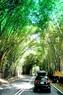 Impresionantes bambúes verdes en Caracas.