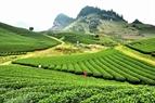 Cao nguyên Mộc Châu xanh ngát những đồi chè.