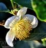 Bông hoa chè trắng muốt tinh khôi.