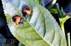 Những chú bọ dừa vàng nhỏ bé nổi bật trên nền lá chè xanh.