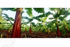 Cavendish banana with a red trunk is multiplied by the technology of tissue culture.