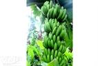 每穗红蕉可结果10至12梳。