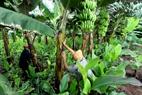 风雨季前管理红蕉。